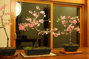 Japanese flowering cherry bonsai styled by my talented hubby. The middle tree is an example of moyogi (informal upright) style.