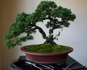 Juniper bonsai styled by master Ben Oki for me!